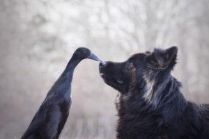 Sessão fotografica Cachorra e pato animais